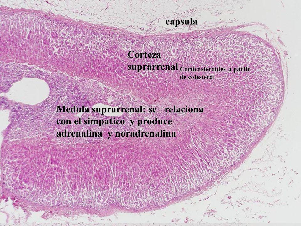 capsula Corteza suprarrenal