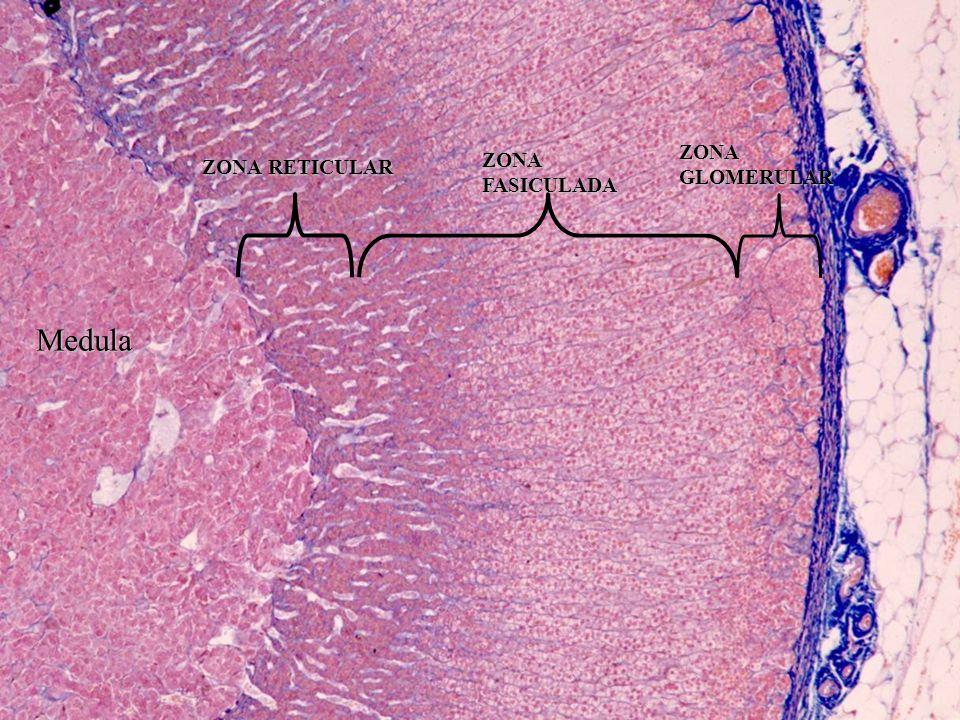 ZONA GLOMERULAR ZONA FASICULADA ZONA RETICULAR Medula