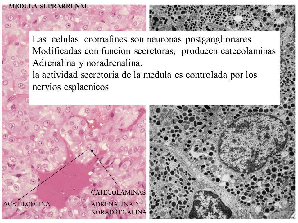 Las celulas cromafines son neuronas postganglionares