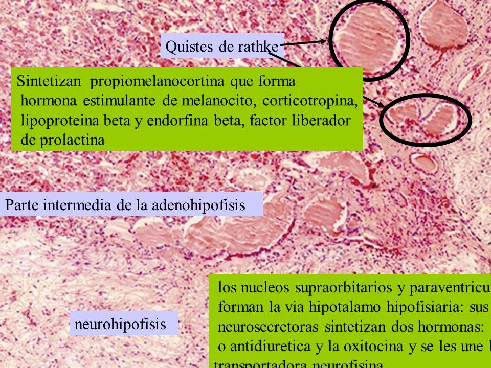 Quistes de rathke Sintetizan propiomelanocortina que forma. hormona estimulante de melanocito, corticotropina,