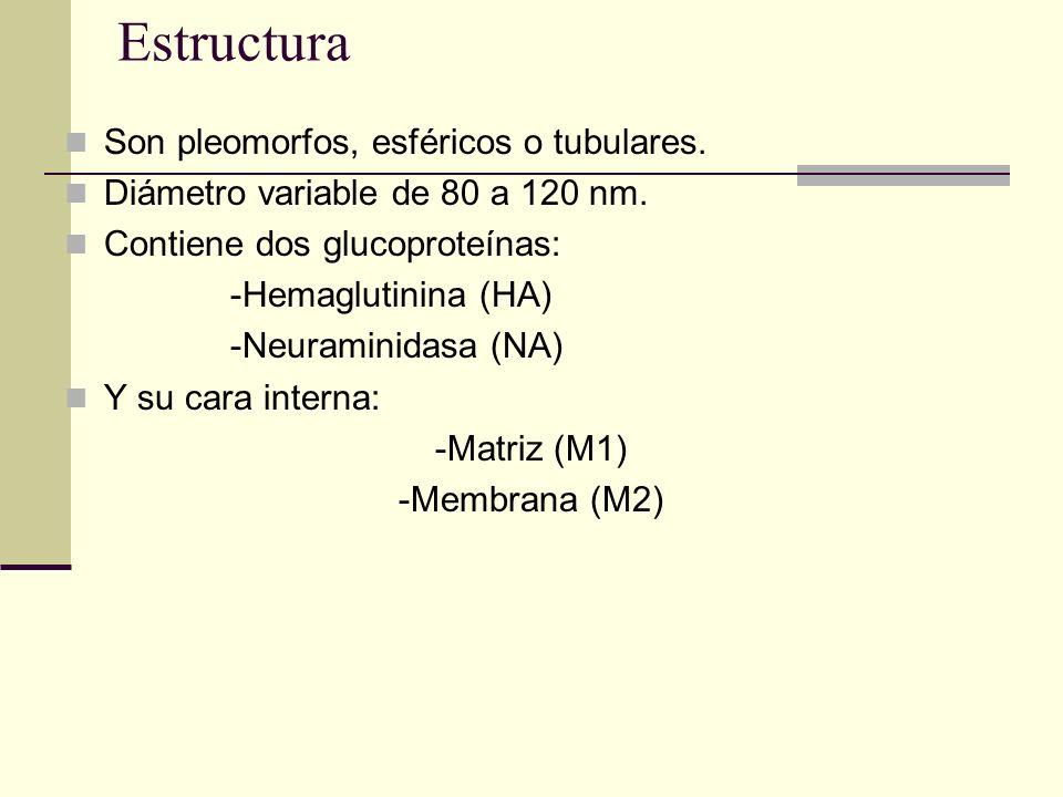 Estructura Son pleomorfos, esféricos o tubulares.