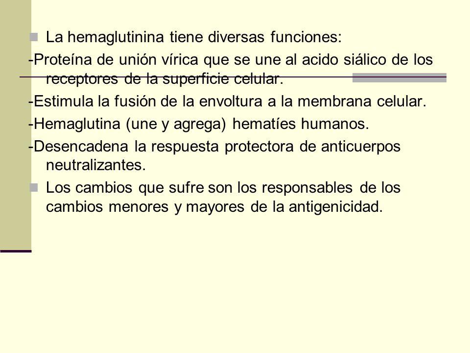 La hemaglutinina tiene diversas funciones: