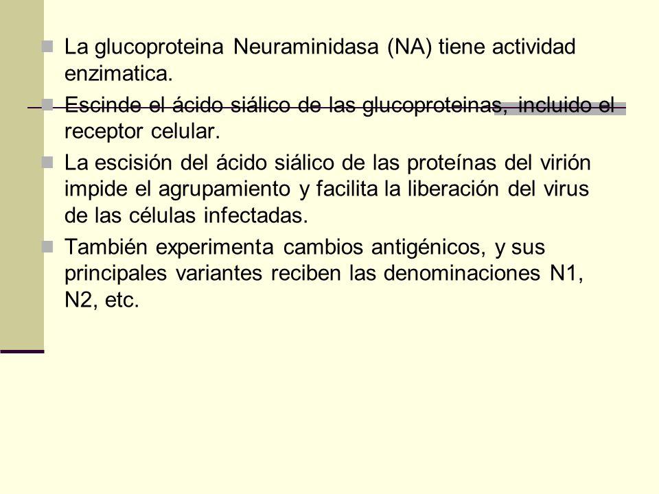 La glucoproteina Neuraminidasa (NA) tiene actividad enzimatica.
