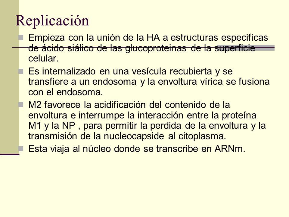 Replicación Empieza con la unión de la HA a estructuras especificas de ácido siálico de las glucoproteinas de la superficie celular.