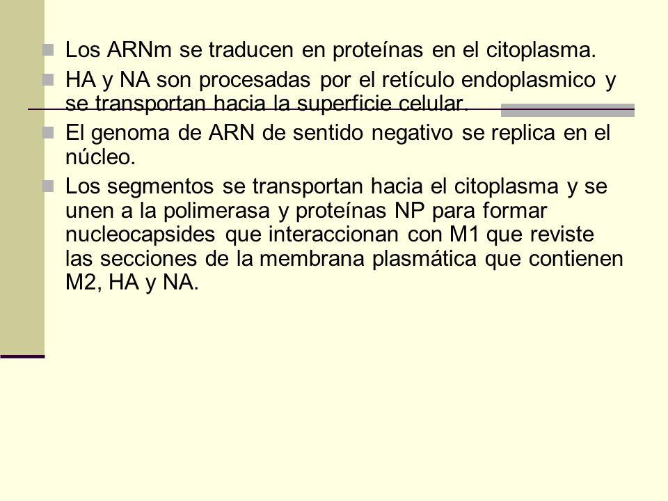 Los ARNm se traducen en proteínas en el citoplasma.