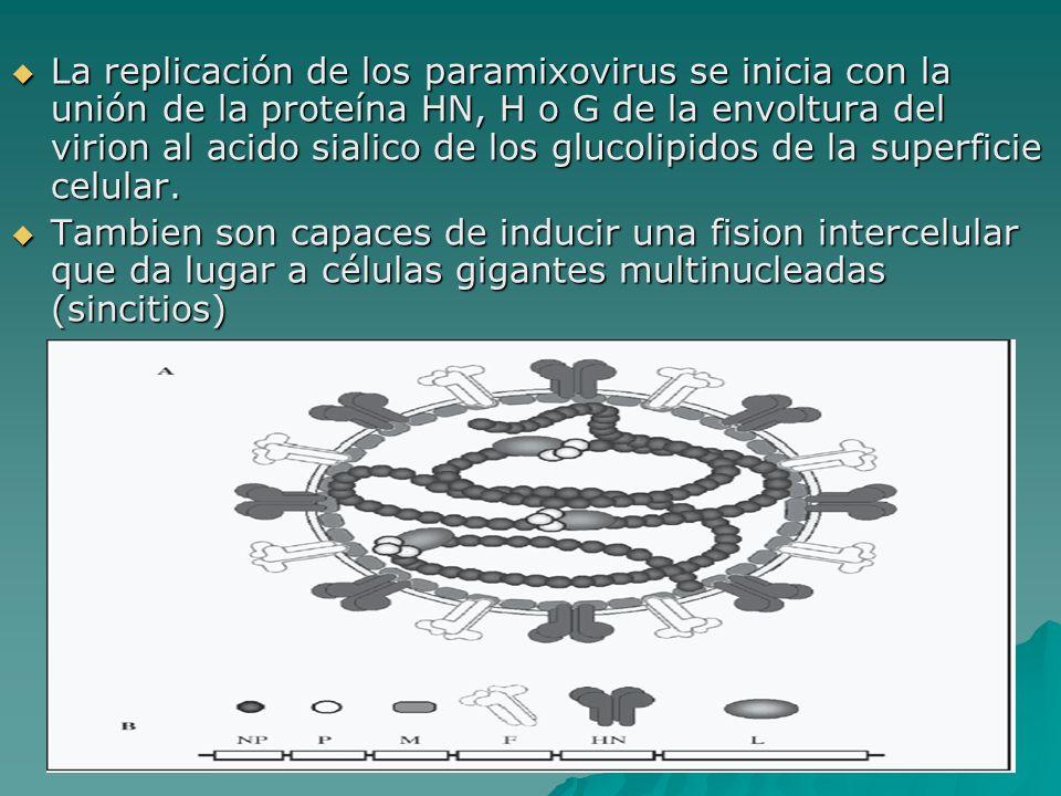 La replicación de los paramixovirus se inicia con la unión de la proteína HN, H o G de la envoltura del virion al acido sialico de los glucolipidos de la superficie celular.