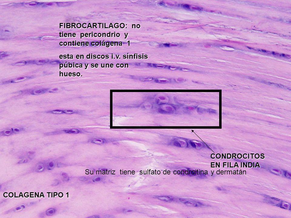 FIBROCARTILAGO: no tiene pericondrio y contiene colágena 1