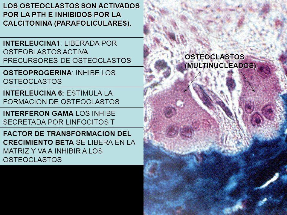 LOS OSTEOCLASTOS SON ACTIVADOS POR LA PTH E INHIBIDOS POR LA CALCITONINA (PARAFOLICULARES).