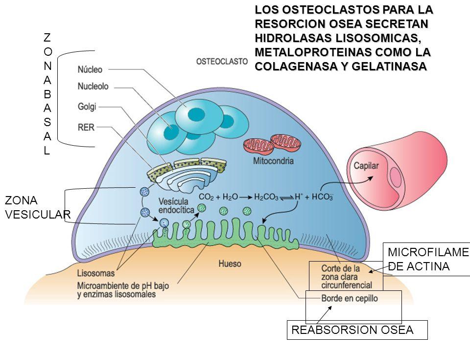 LOS OSTEOCLASTOS PARA LA RESORCION OSEA SECRETAN HIDROLASAS LISOSOMICAS, METALOPROTEINAS COMO LA COLAGENASA Y GELATINASA