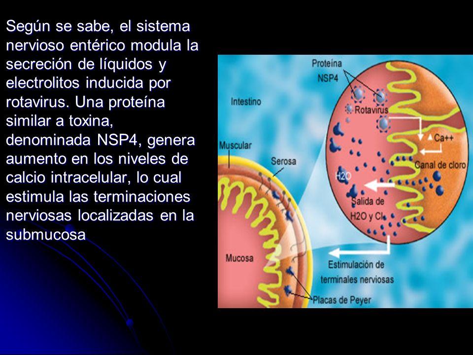 Según se sabe, el sistema nervioso entérico modula la secreción de líquidos y electrolitos inducida por rotavirus.