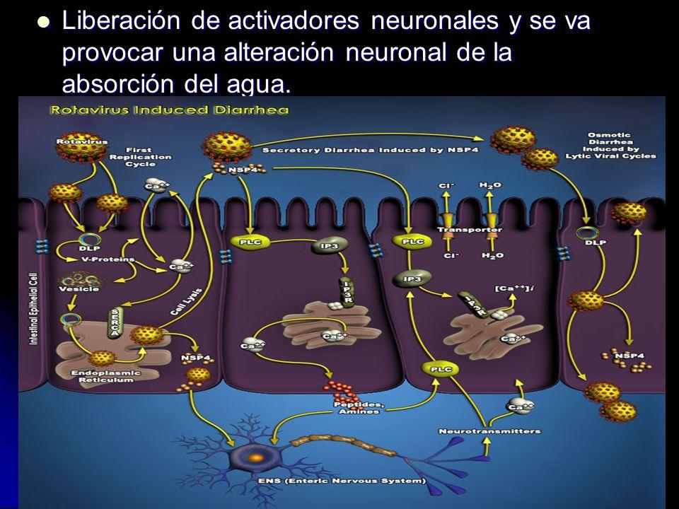 Liberación de activadores neuronales y se va provocar una alteración neuronal de la absorción del agua.