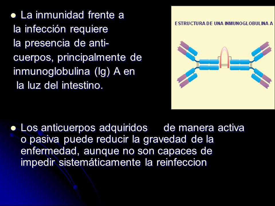 La inmunidad frente a la infección requiere. la presencia de anti- cuerpos, principalmente de. inmunoglobulina (Ig) A en.