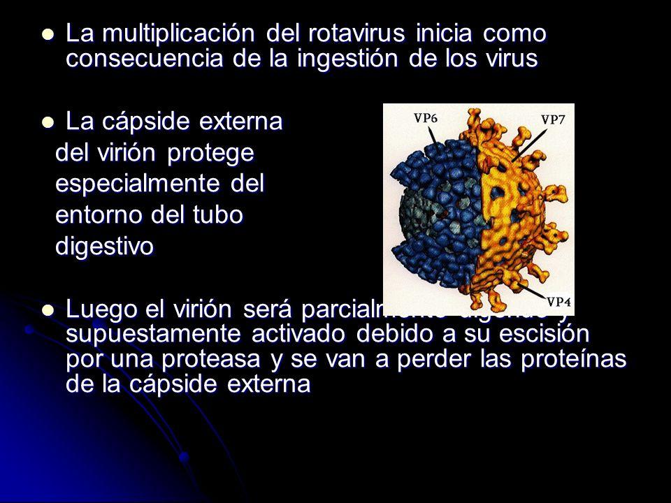 La multiplicación del rotavirus inicia como consecuencia de la ingestión de los virus