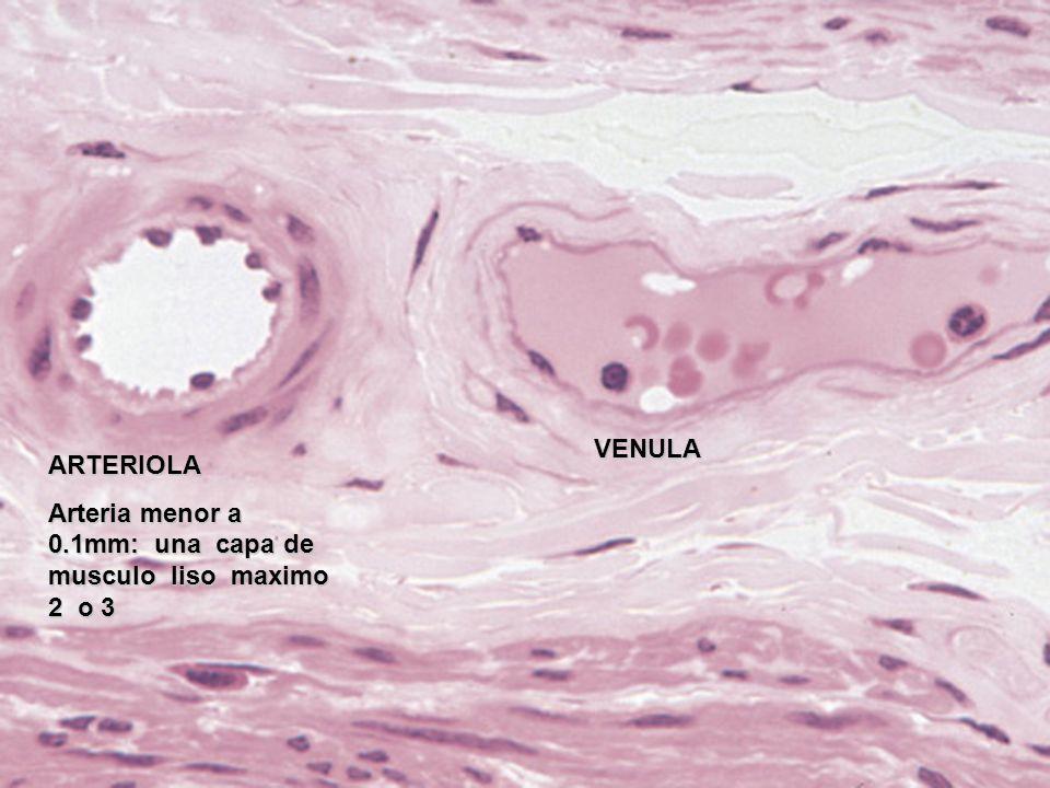 VENULA ARTERIOLA Arteria menor a 0.1mm: una capa de musculo liso maximo 2 o 3