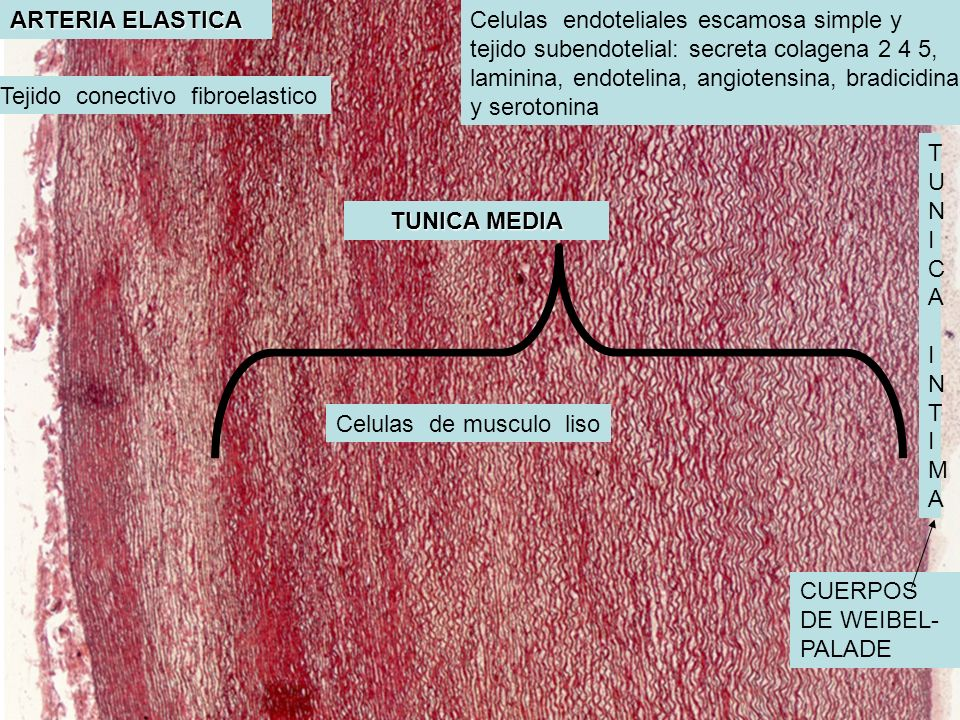 ARTERIA ELASTICA Celulas endoteliales escamosa simple y. tejido subendotelial: secreta colagena 2 4 5,