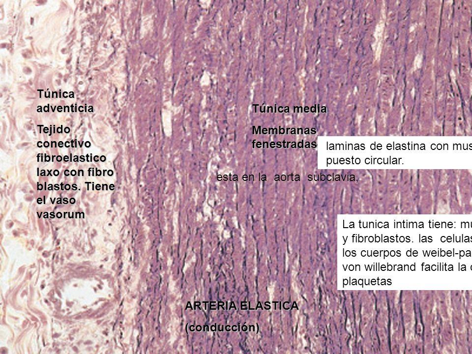 Túnica adventicia Tejido conectivo fibroelastico laxo con fibro blastos. Tiene el vaso vasorum. Túnica media.