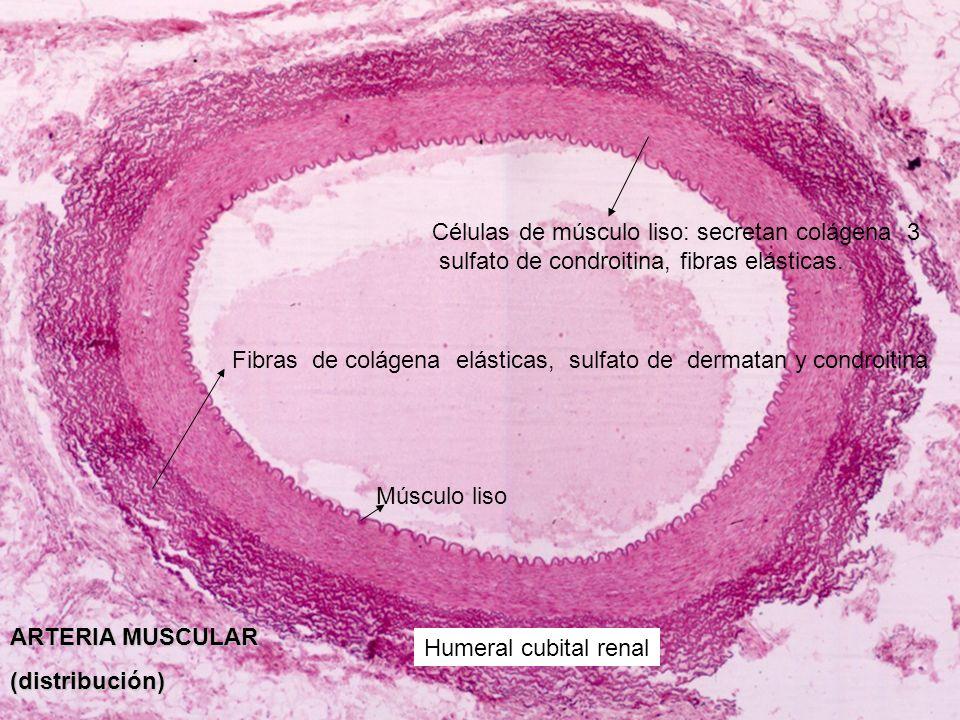 Células de músculo liso: secretan colágena 3