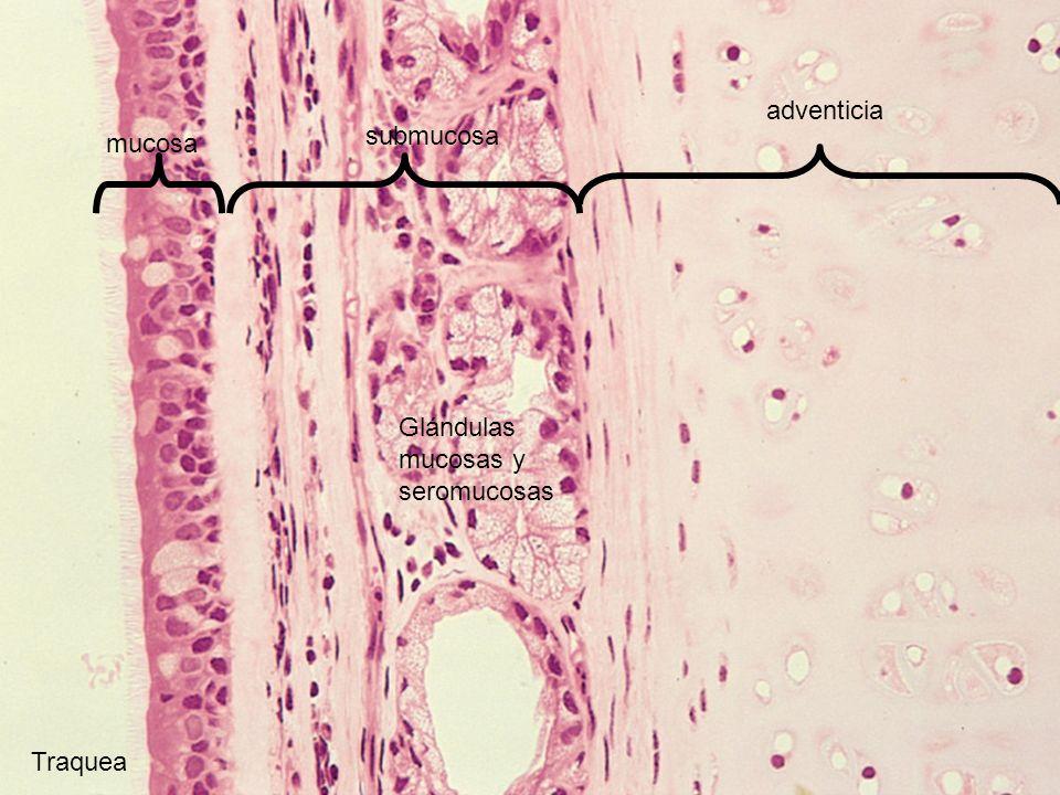 adventicia submucosa mucosa Glándulas mucosas y seromucosas Traquea
