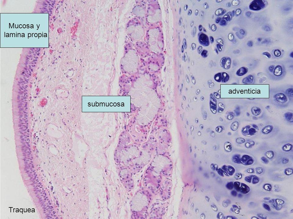 Mucosa y lamina propia adventicia submucosa Traquea