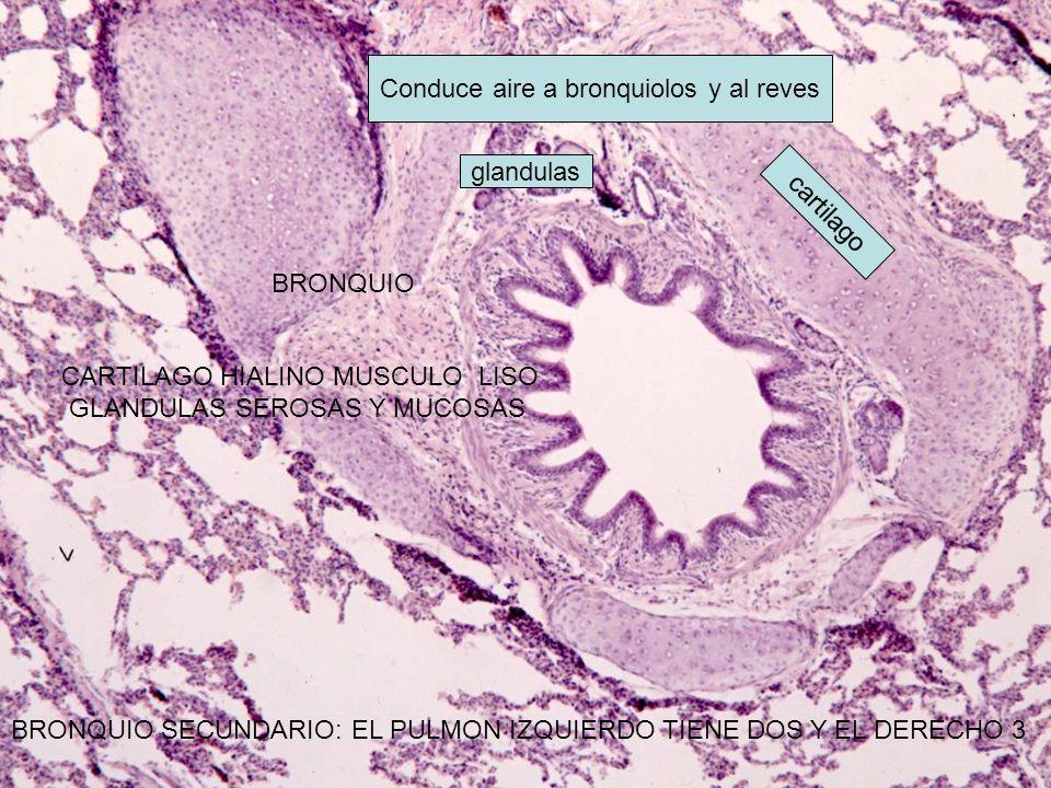 Conduce aire a bronquiolos y al reves