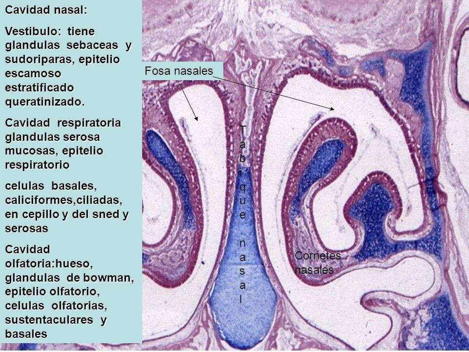 Cavidad nasal: Vestibulo: tiene glandulas sebaceas y sudoriparas, epitelio escamoso estratificado queratinizado.