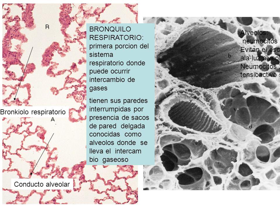 BRONQUILO RESPIRATORIO: primera porcion del sistema respiratorio donde puede ocurrir intercambio de gases