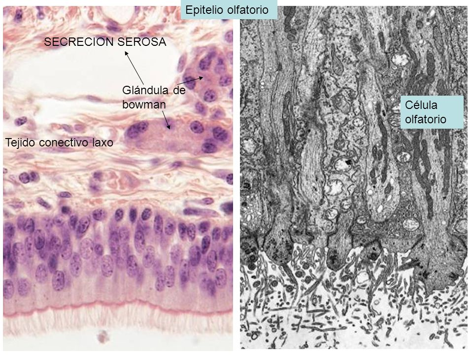 Epitelio olfatorio SECRECION SEROSA Glándula de bowman Célula olfatorio Tejido conectivo laxo