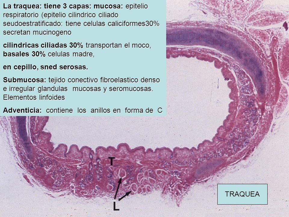 La traquea: tiene 3 capas: mucosa: epitelio respiratorio (epitelio cilindrico ciliado seudoestratificado: tiene celulas caliciformes30% secretan mucinogeno