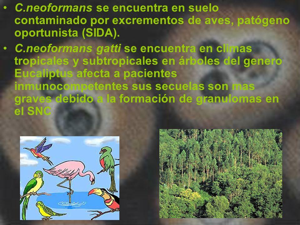 C.neoformans se encuentra en suelo contaminado por excrementos de aves, patógeno oportunista (SIDA).