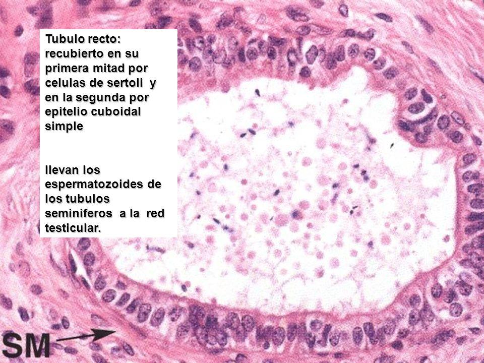 Tubulo recto: recubierto en su primera mitad por celulas de sertoli y en la segunda por epitelio cuboidal simple