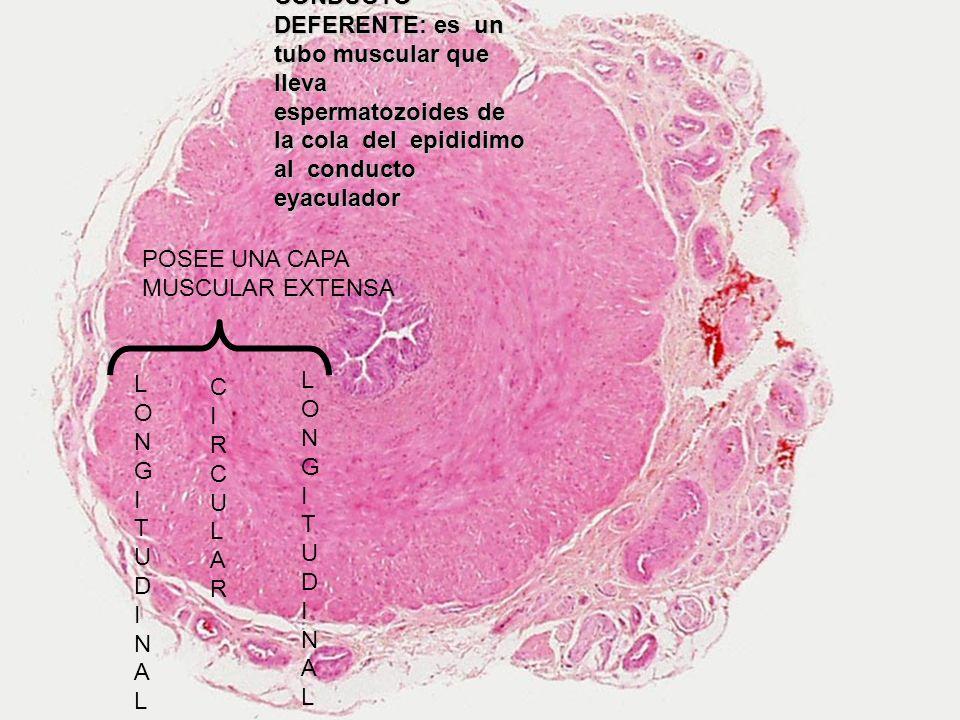 CONDUCTO DEFERENTE: es un tubo muscular que lleva espermatozoides de la cola del epididimo al conducto eyaculador