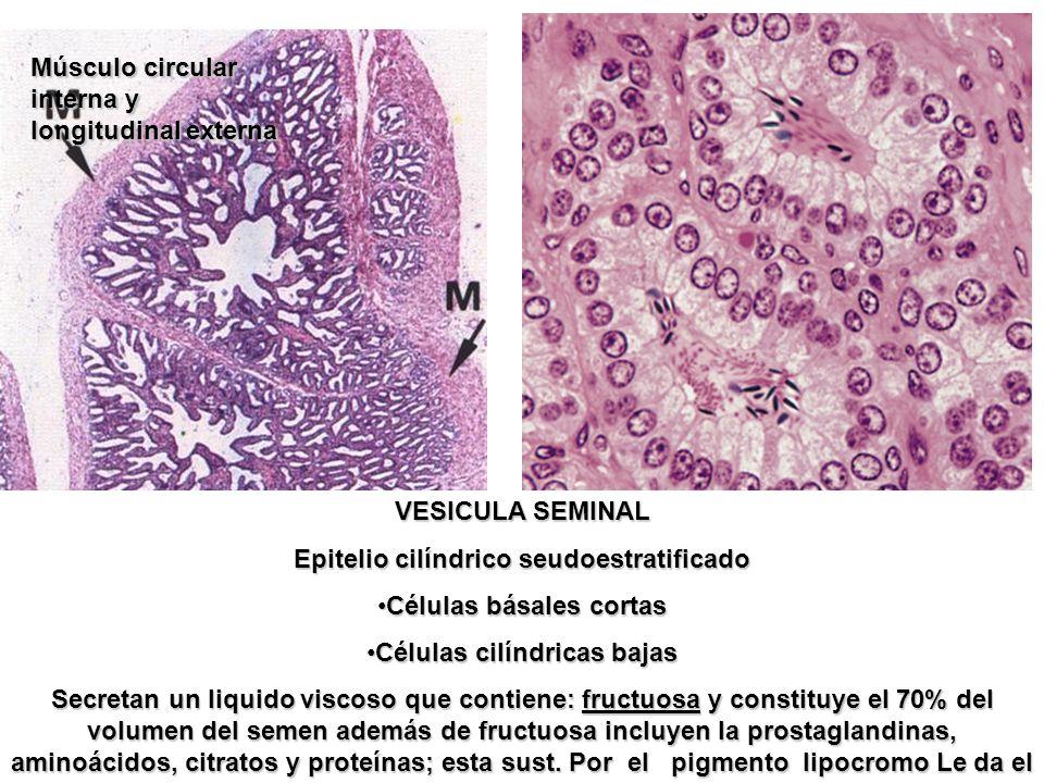 Músculo circular interna y longitudinal externa