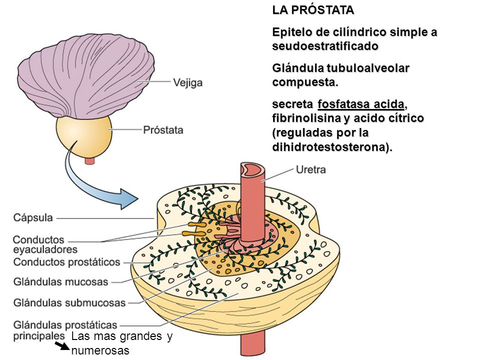 LA PRÓSTATA Epitelo de cilíndrico simple a seudoestratificado. Glándula tubuloalveolar compuesta.