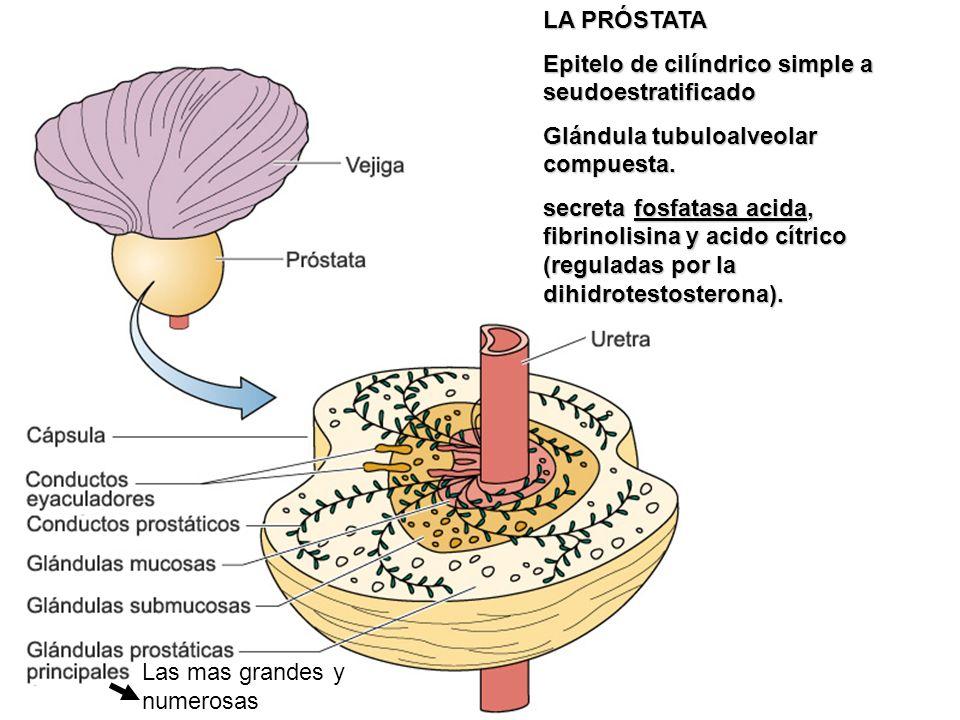 LA PRÓSTATAEpitelo de cilíndrico simple a seudoestratificado. Glándula tubuloalveolar compuesta.