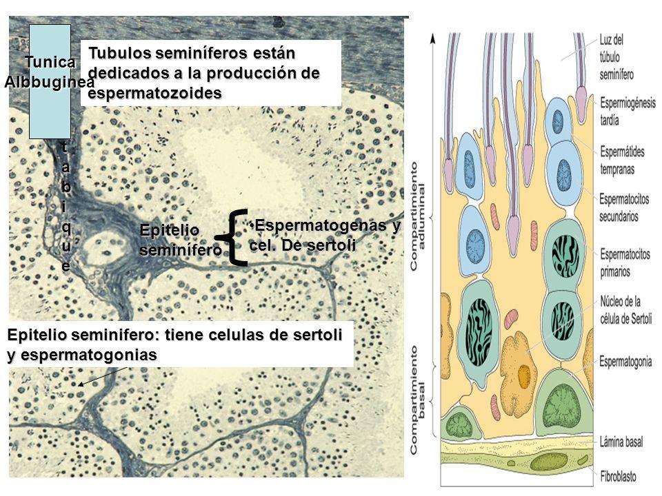 TunicaAlbbuginea. Tubulos seminíferos están dedicados a la producción de espermatozoides. tabique.