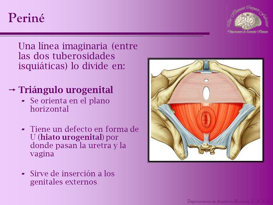 Periné Una línea imaginaria (entre las dos tuberosidades isquiáticas) lo divide en: Triángulo urogenital.