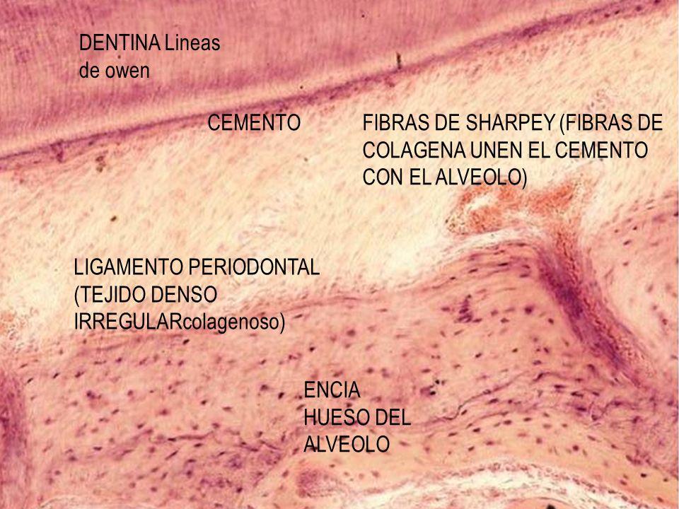 DENTINA Lineas de owen CEMENTO. FIBRAS DE SHARPEY (FIBRAS DE COLAGENA UNEN EL CEMENTO CON EL ALVEOLO)