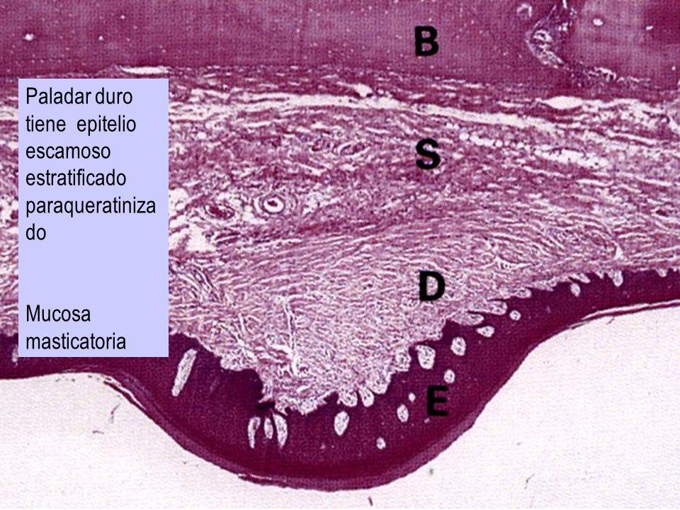 Paladar duro tiene epitelio escamoso estratificado paraqueratinizado