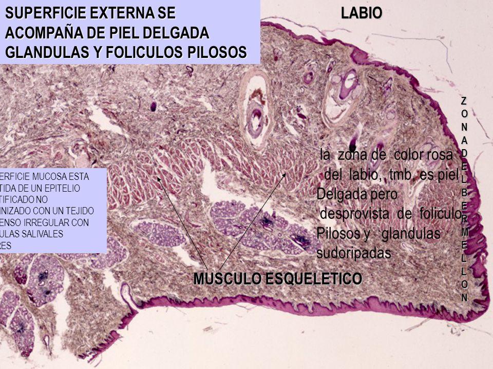 desprovista de foliculo Pilosos y glandulas sudoripadas
