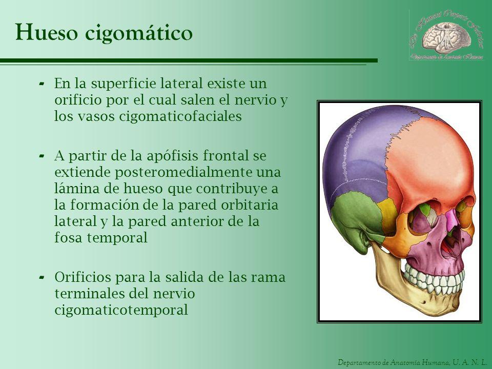 Hueso cigomático En la superficie lateral existe un orificio por el cual salen el nervio y los vasos cigomaticofaciales.