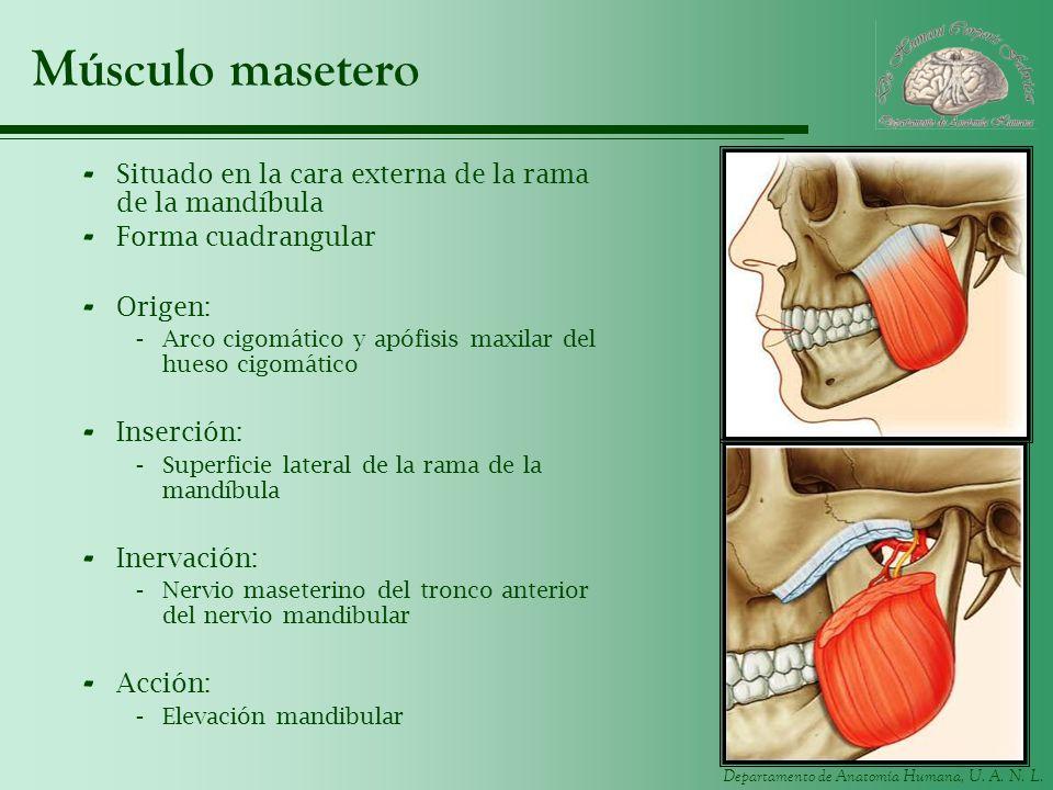 Músculo masetero Situado en la cara externa de la rama de la mandíbula