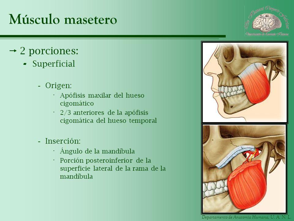Músculo masetero 2 porciones: Superficial Origen: Inserción: