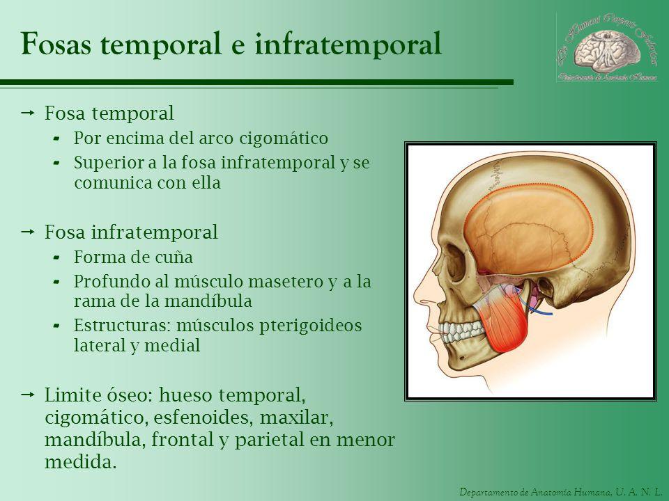 Fosas temporal e infratemporal