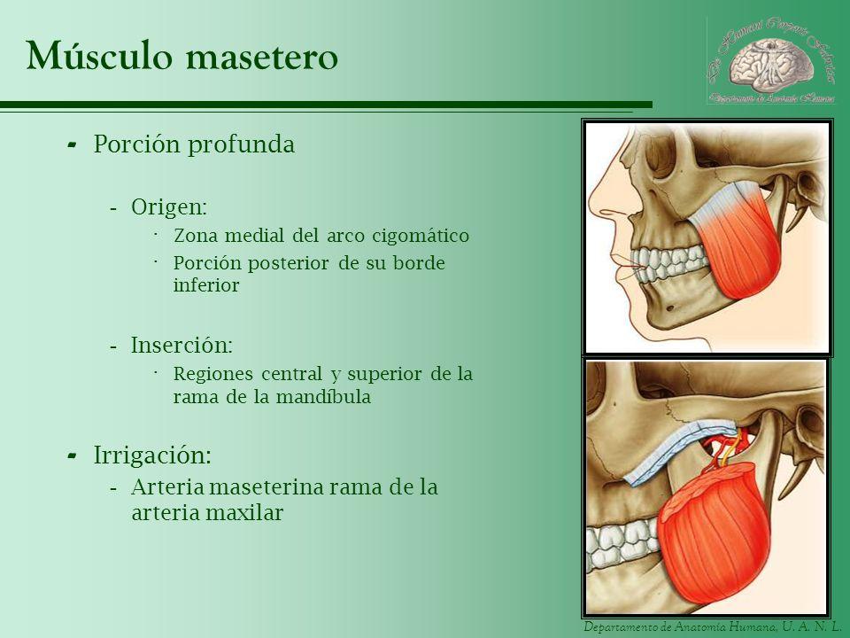Músculo masetero Porción profunda Irrigación: Origen: Inserción: