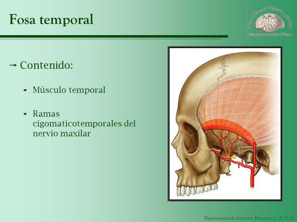 Fosa temporal Contenido: Músculo temporal