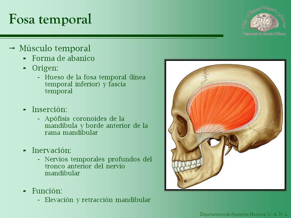 Fosa temporal Músculo temporal Forma de abanico Origen: Inserción: