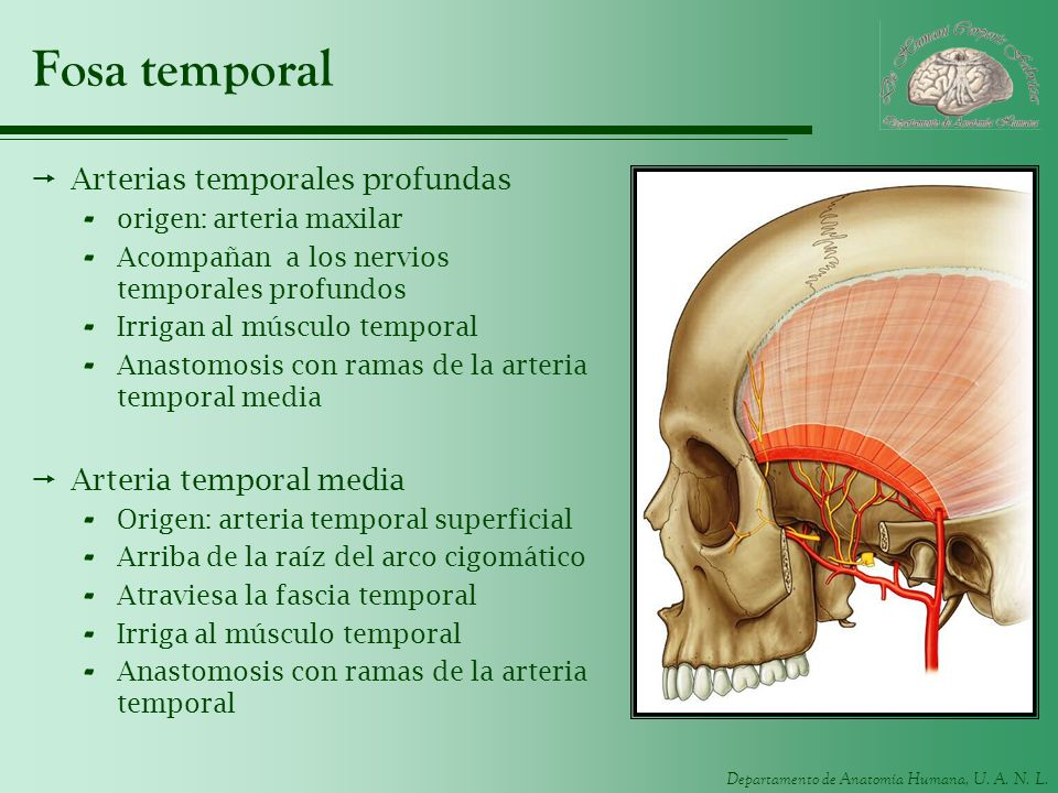 Fosa temporal Arterias temporales profundas Arteria temporal media