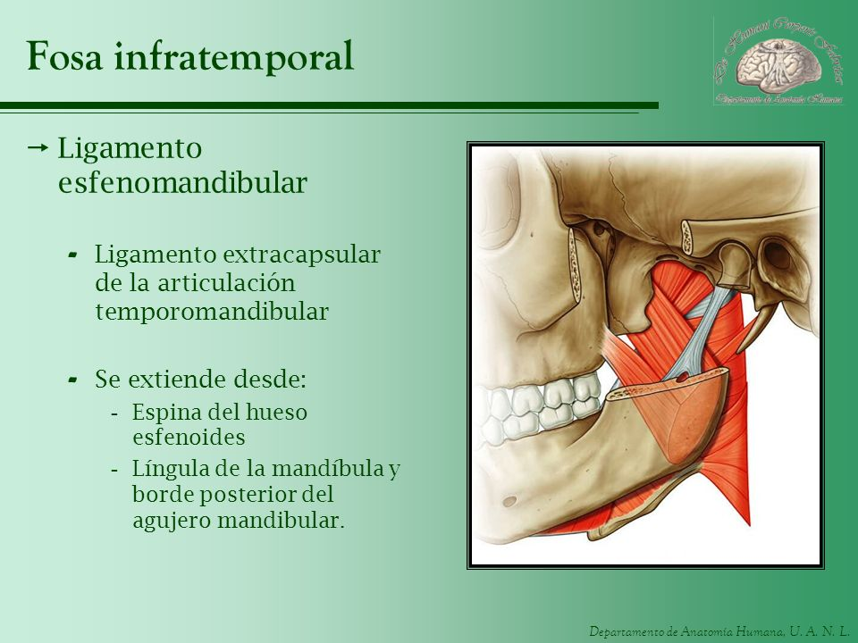 Fosa infratemporal Ligamento esfenomandibular