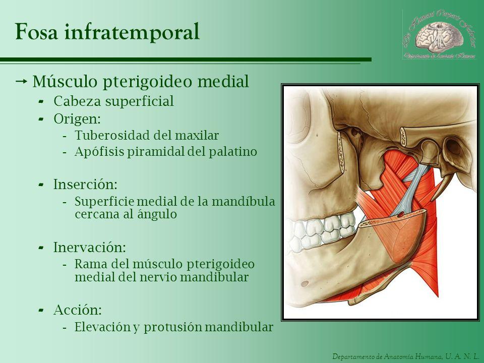 Fosa infratemporal Músculo pterigoideo medial Cabeza superficial