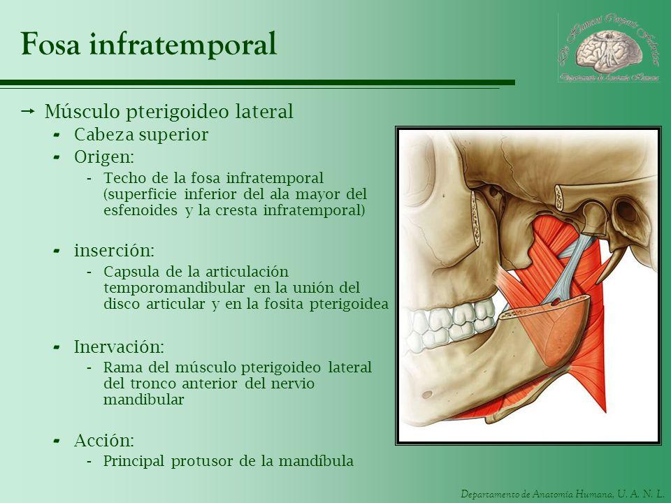Fosa infratemporal Músculo pterigoideo lateral Cabeza superior Origen: